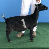 GCH Olson Acres WBR Glamour 2*M